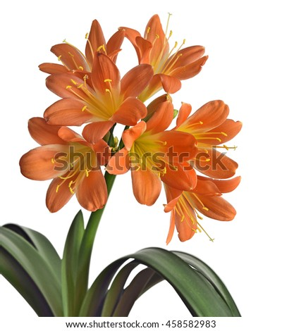 Bush of  impressive flower Clivia,  Isolated on white