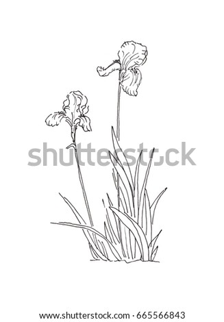 Ink pen iris stock images royalty free images vectors bush of iris flower ink pen black and white contour drawing of on a white background pronofoot35fo Image collections