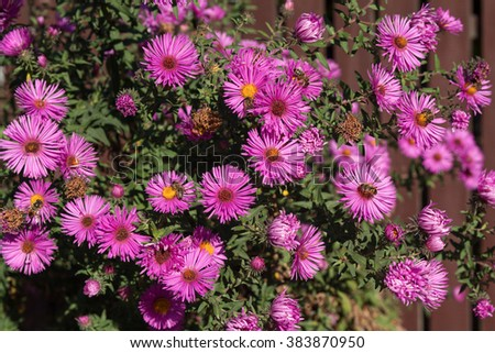Bush of purple asters sunlit. Flowers and gardens - stock photo