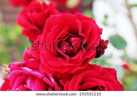 bush of purple roses - stock photo