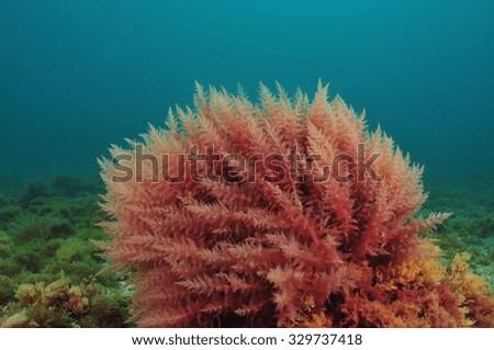 stock photo bush of red algae moving in turbid water 329737418