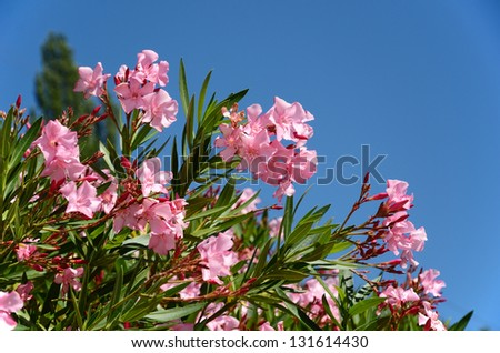 Bush of rhododendron is flowering the rosy clusters against the blue sky. These ornamental plants are best known for their large flowers. - stock photo