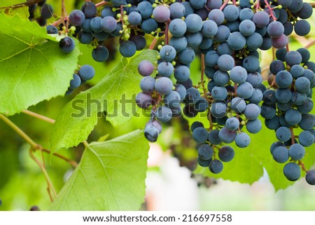 Bush of ripe grapes in green - stock photo
