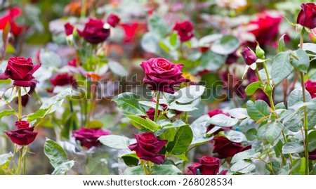 Bush of the blossoming red roses in a garden - stock photo