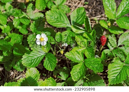 Bush of the wild strawberry with blossoms and berries - stock photo
