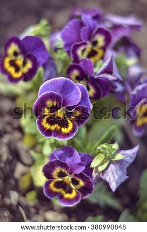bush pansy (pansies, viola, Viola tricolor) close up.selective focus.Vintage effect - stock photo