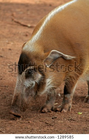 Bush pig - stock photo