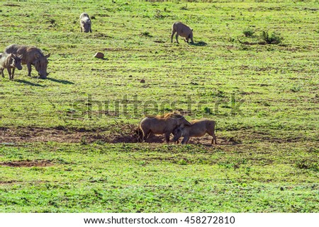 Bush pigs playing on a african grass land on a national park.