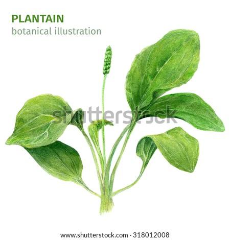 Bush plantain. Botanical illustration. Watercolor - stock photo