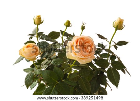 Bush roses peach color on a white background isolated - stock photo
