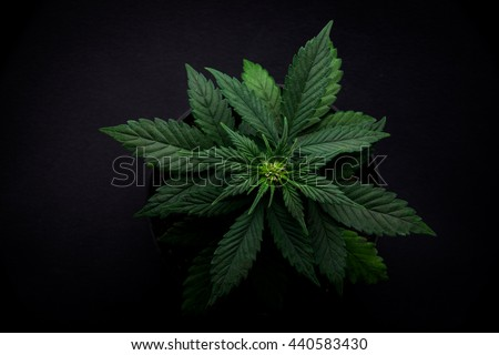 bush varietal marijuana leaves on a black background in a coffeeshop top view