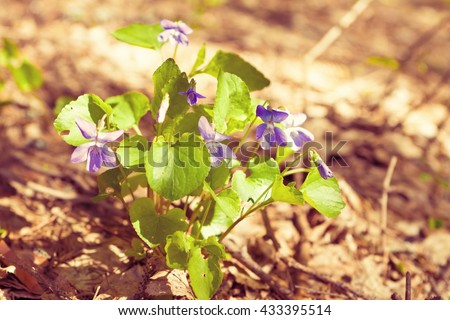 bush violets in the forest, photo in high key - stock photo