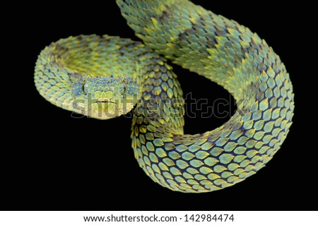 Bush viper / Atheris squamigera - stock photo