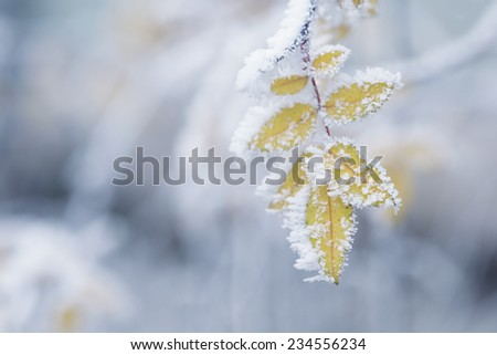 bush yellow leaves covered with rime, winter theme - stock photo