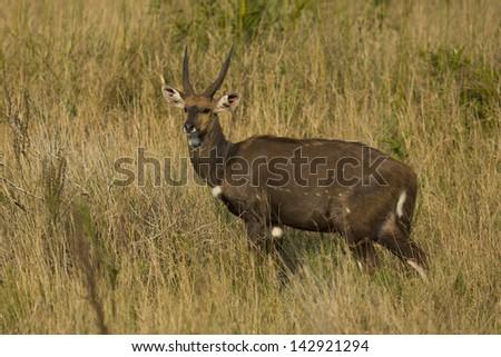 Bushbuck antelope male - stock photo