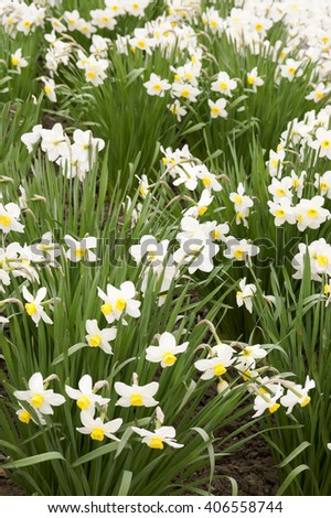 bushes blooming daffodils in spring in a spring garden - stock photo