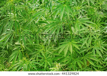 Bushes of cannabis growing outdoors. Used in drug industry - stock photo
