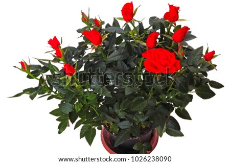 Bushes of indoor red roses isolated on white background
