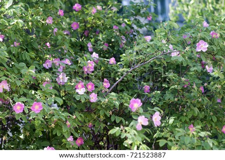 Bushes of rose hips with pink flowers in the sunlight. Summer texture