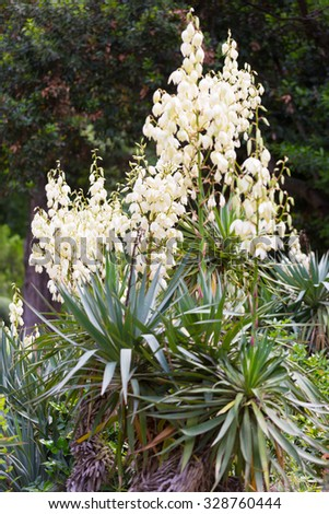 Bushes of the blossoming yucca - stock photo