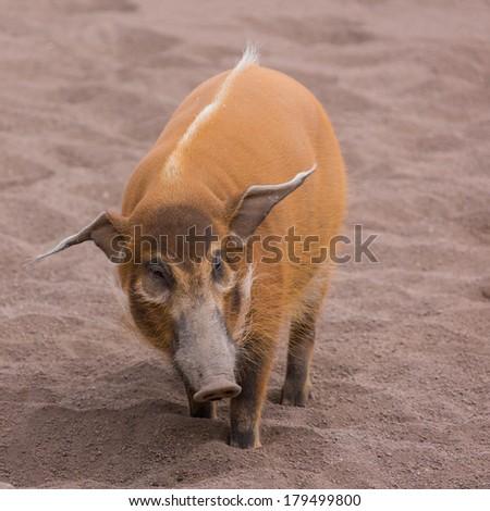 Bushpig in the zoo - stock photo