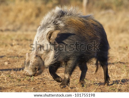 Bushpig (Potamochoerus larvatus) out during the daytime, unusual for this noctural animal, South Africa - stock photo