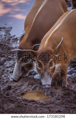 Bushpigs in the zoo - stock photo