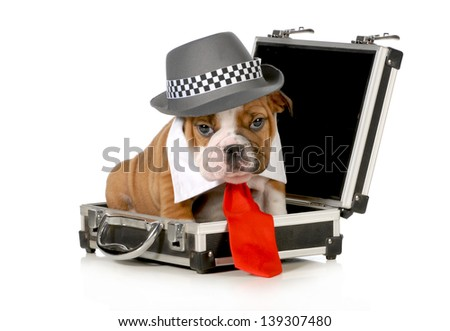 business puppy - english bulldog dressed up like a business man sitting inside briefcase isolated on white background - 7 weeks old - stock photo