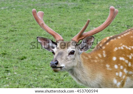 Bust of spotted deer on green grass background