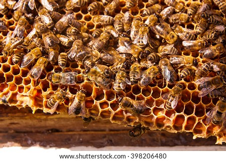 Busy bees, close up view of the working bees on honeycomb. Bees close up showing some animals and honeycomb structure. - stock photo