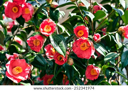 busy bees in some pink camellia flowers - stock photo