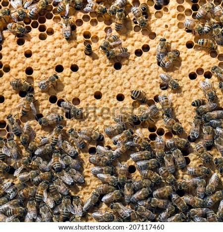 Busy bees inside hive with sealed cells for their young. Apis mellifera. - stock photo