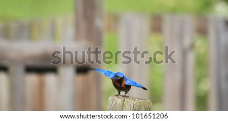 Busy Bluebird nesting in the spring
