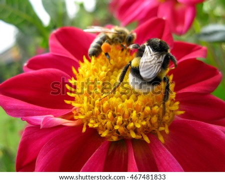 Busy bumblebee on a yellow pink flower
