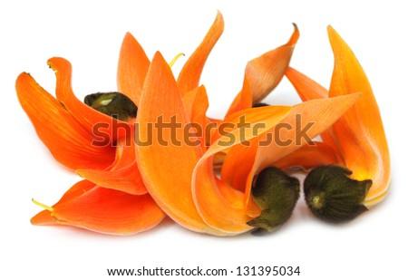 Butea Monosperma or Palash flower of Southeast Asia - stock photo