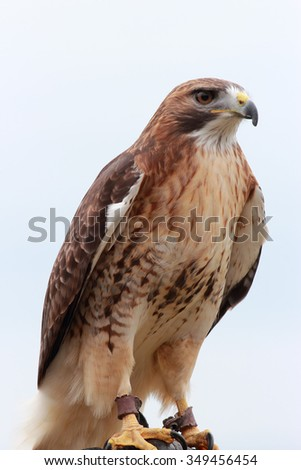 Buteo buteo aka the common buzzard