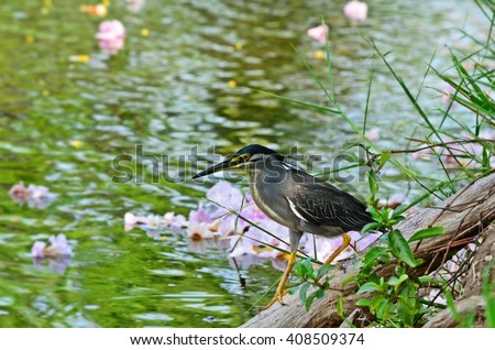 Butorides striata, mangrove heron, a bird near lake - stock photo