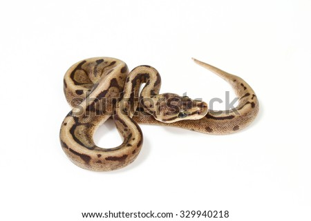 butter ball python isolated on white background. - stock photo
