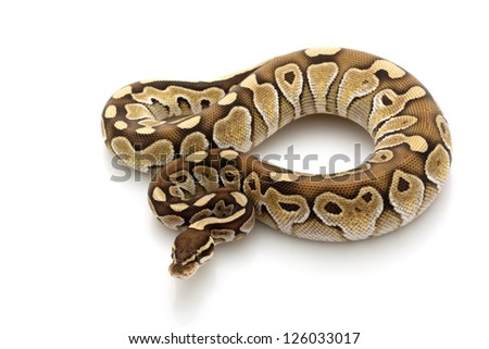 butter ball python (Python regius) isolated on white background.