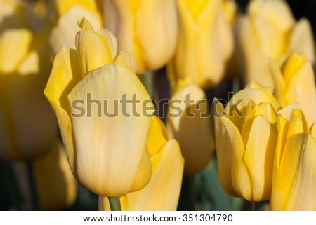 Butter-cream yellow tulip flowers in the morning sunshine on a farm in Oregon. - stock photo