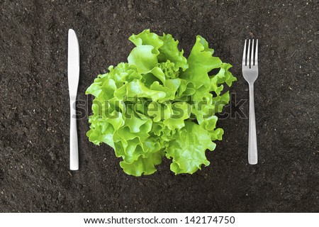 butter lettuce salad in soil with fork and knife - stock photo