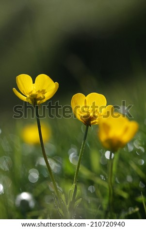 buttercup flower - stock photo