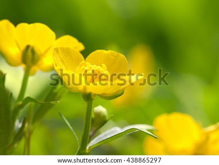 Buttercup on background of green grass