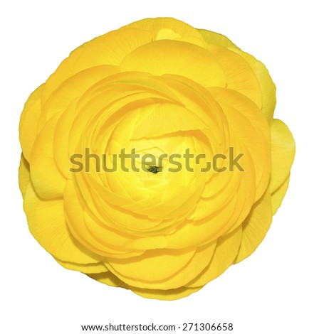 Buttercup yellow, isolated background - stock photo