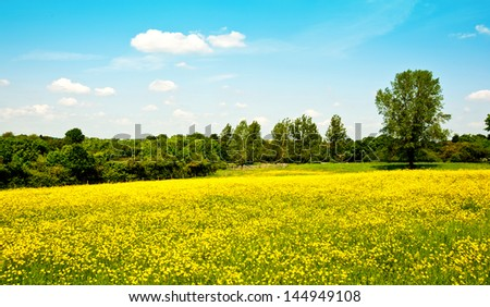 Buttercups in a meadow - stock photo