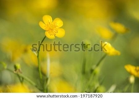 Buttercups - meadow dotted with yellow buttercups - stock photo