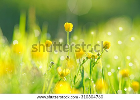 Buttercups, Ranunculus acris, with selective focus, bokeh and diffused background in a spring meadow , near Painswick, The Cotswolds, Gloucestershire, United Kingdom  - stock photo