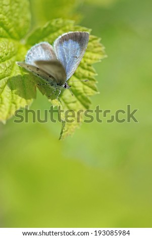 Butterflies in forest - Holly Blue (Celastrina argiolus) - stock photo