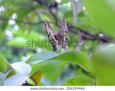 Butterflies mating in Bali, Indonesia.  - stock photo