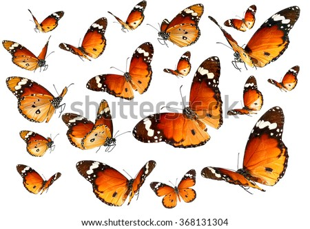 Butterflies migrating flight. Butterflies of Danaus chrysippus (Plain tiger or African monarch) isolated on a white background - stock photo